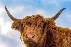 布朗长的头发高地母牛aginst蓝天 免版税库存图片