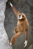 布朗长臂猿 图库摄影