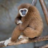 布朗长臂猿 免版税库存图片