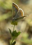 布朗阿格斯蝴蝶 库存照片