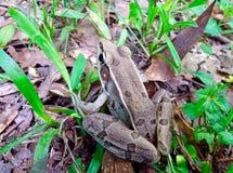 布朗雨蛙 库存图片