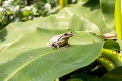 布朗雨蛙 免版税库存图片