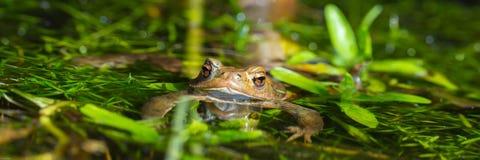 布朗青蛙全景 库存图片