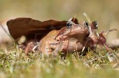 布朗青蛙在草草坪 库存图片