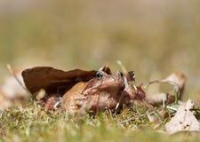 布朗青蛙在草草坪 免版税库存图片