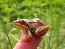 布朗青蛙 免版税库存图片