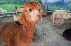 布朗颜色羊魄在有受控温度室的室内农场 免版税库存图片