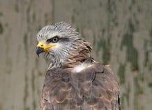 布朗风筝飞行的掠食性动物 库存图片