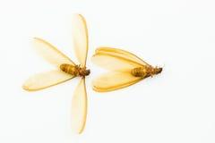 布朗飞过了白蚁(有翼状物)隔绝在白色背景 库存照片