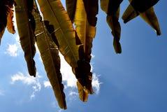 布朗香蕉叶子由后照的阳光和天空 免版税库存图片
