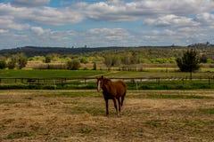 布朗马在一个草甸在一多云天 免版税图库摄影