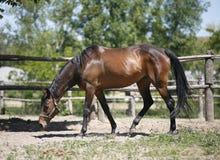 布朗马在大农场的畜栏 免版税库存图片