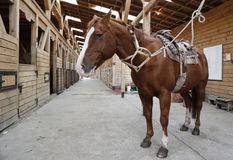 布朗马在槽枥装配与马鞍和马勒 库存图片