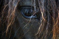 黑布朗马画象-冰岛马 库存图片
