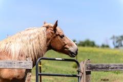 布朗马头 库存照片