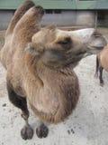 布朗骆驼 免版税库存照片