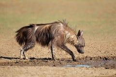 布朗鬣狗饮用水 免版税库存照片