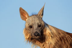 布朗鬣狗画象 免版税库存照片