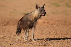 布朗鬣狗 库存图片