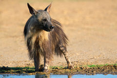 布朗鬣狗 免版税库存图片