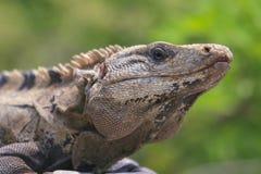 布朗鬣鳞蜥头 免版税库存图片