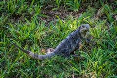 布朗鬣鳞蜥 库存图片