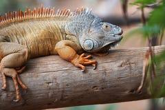 布朗鬣鳞蜥 免版税库存图片