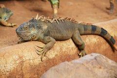 布朗鬣鳞蜥 免版税图库摄影