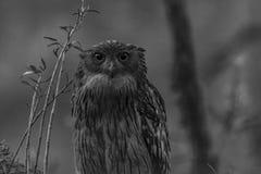 布朗鱼猫头鹰或腹股沟淋巴肿块zeylonensis 免版税库存图片