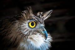 布朗鱼猫头鹰,在黑背景 库存图片