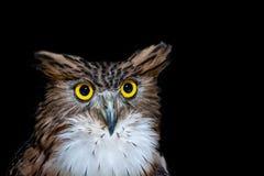 布朗鱼猫头鹰,正面图隔绝在黑背景 免版税库存图片