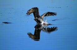 布朗鱼的鹈鹕潜水 库存图片