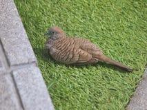 布朗鸠在绿草的鸟身分 免版税库存照片