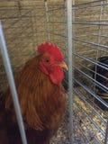 布朗鸡 库存照片