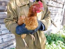 布朗鸡 免版税库存图片