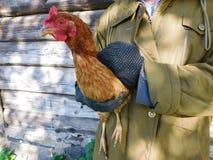 布朗鸡 免版税图库摄影