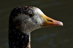 布朗鸭子丝毫黑眼睛 库存图片