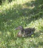 布朗鸭子在湖附近休息 库存照片