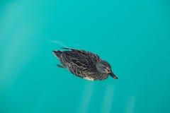 布朗鸭子是游泳和寻找食物 免版税库存照片