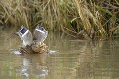 布朗鸭子游泳 免版税库存图片