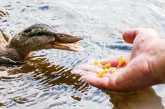布朗鸭子,吃从人的棕榈手的鸭子玉米五谷在湖在海滩附近,饲养时间 在的水禽种类 库存图片
