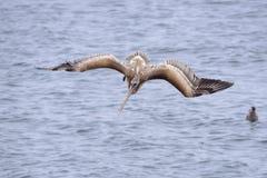 布朗鹈鹕为钓鱼做准备 免版税库存照片