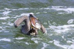 布朗鹈鹕传染性的鱼 免版税库存照片