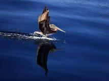 布朗鹈鹕反射 免版税库存图片
