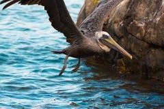 布朗鹈鹕和水 图库摄影