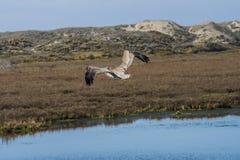 布朗鹈鹕在飞行中在沼泽地 免版税库存照片