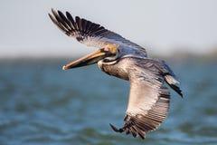 布朗鹈鹕在飞行中, Estero盐水湖, 免版税库存图片
