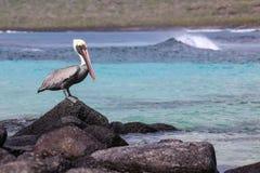 布朗鹈鹕坐岩石在苏亚雷斯点, Espanola海岛 图库摄影