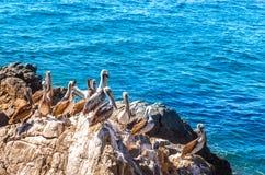 布朗鹈鹕坐岩石有海背景 免版税图库摄影