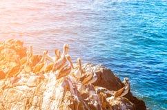 布朗鹈鹕坐岩石有海背景 库存图片